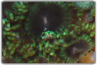 Assorted Color Zoanthids - Caribbean